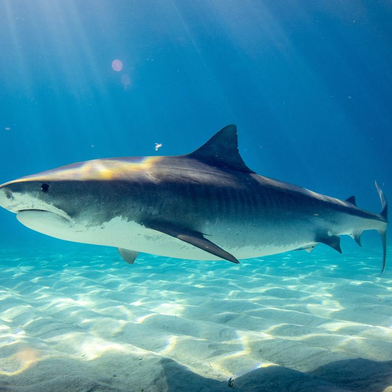 Mơ thấy cá mập nên đánh con gì chắc ăn nhất? Giải mã ý nghĩa giấc mơ
