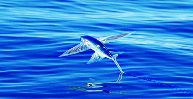 Mơ thấy cá bay